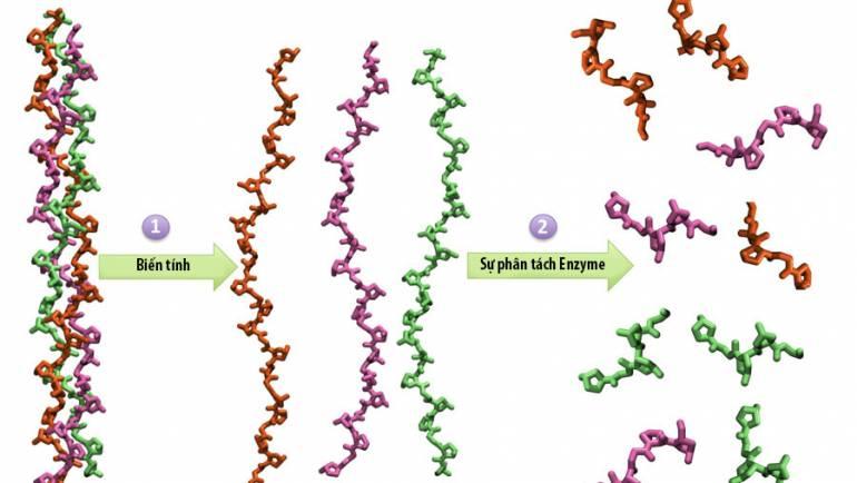 Collagen Loại II Không Biến Tính và Tác Dụng Của Nó