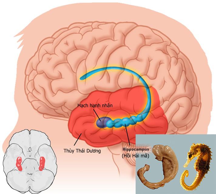 Phát hiện mới cho việc cải thiện trí não hiệu quả Nấm Đầu Khỉ Aloha